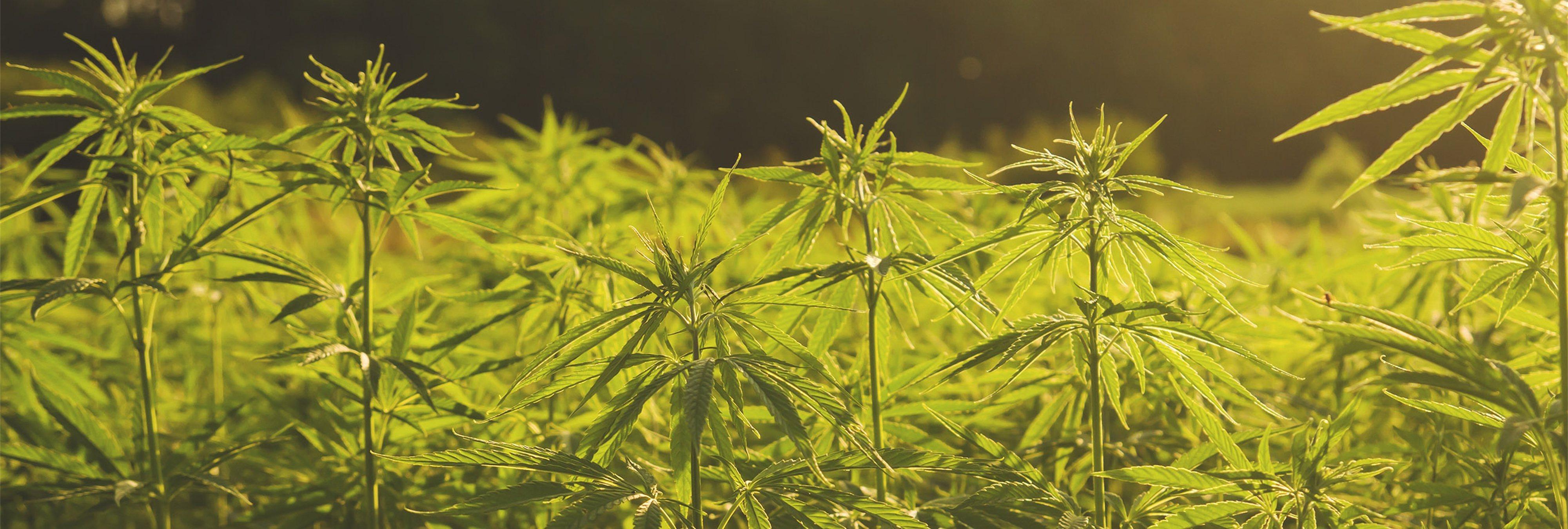 Radula: así es la planta llamada a convertirse en la marihuana del futuro