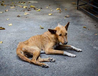 Un hombre viola a su perro en Mallorca y muere por una infección en el pene