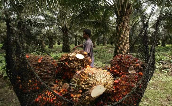 La deforestación debido al cultivo del aceite de palma