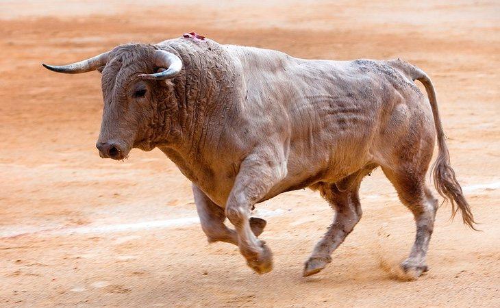 Los toros de lidia son los especímenes más bravos para torear