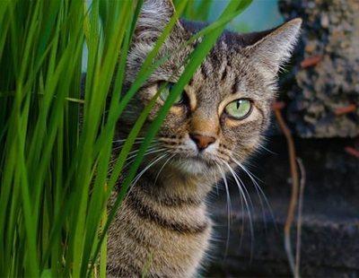 La droga preferida por los gatos que podría ayudar a tratar el cáncer