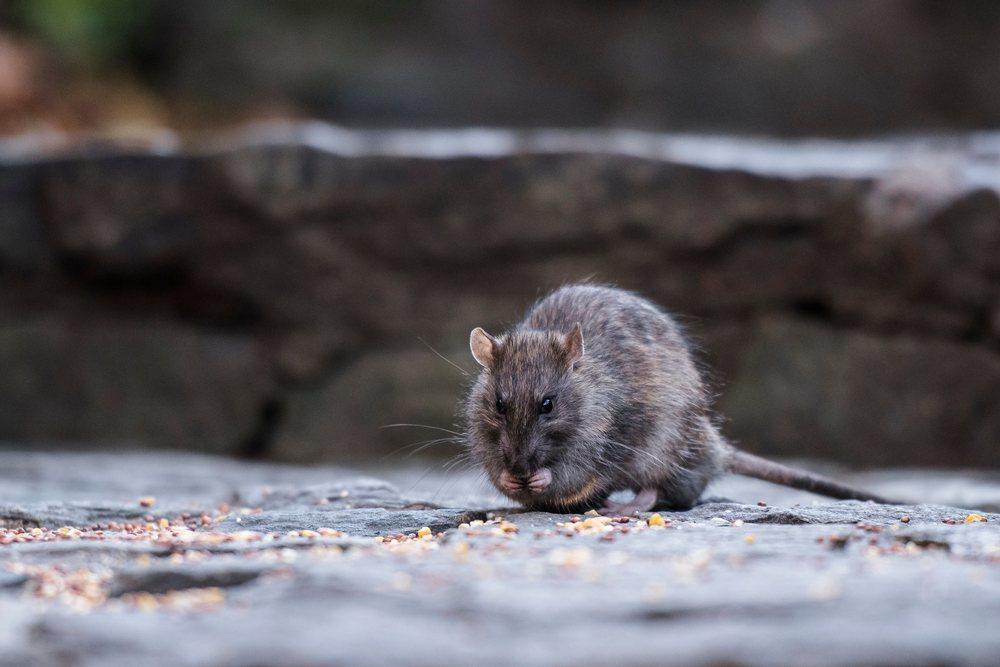 Una rata deambula por las calles de Nueva York