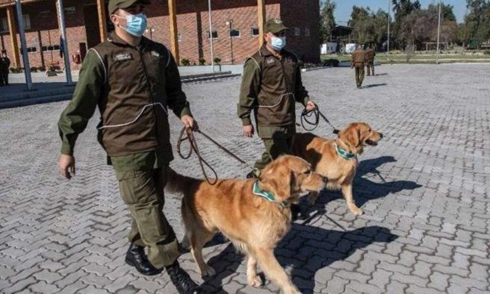 Uno de los perros adiestrado para identificar a personas con coronavirus