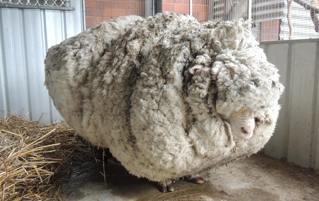 ¿Alguna vez te has preguntado qué pasaría si no se esquila a la ovejas?