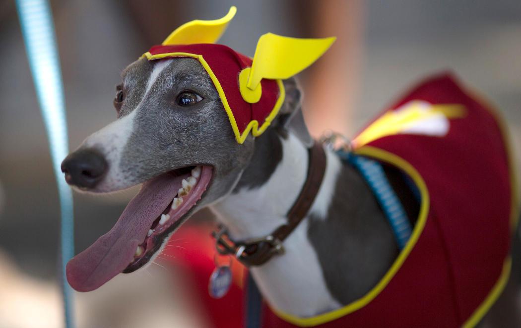 El Flash perruno disfruta del carnaval de Río de Janeiro