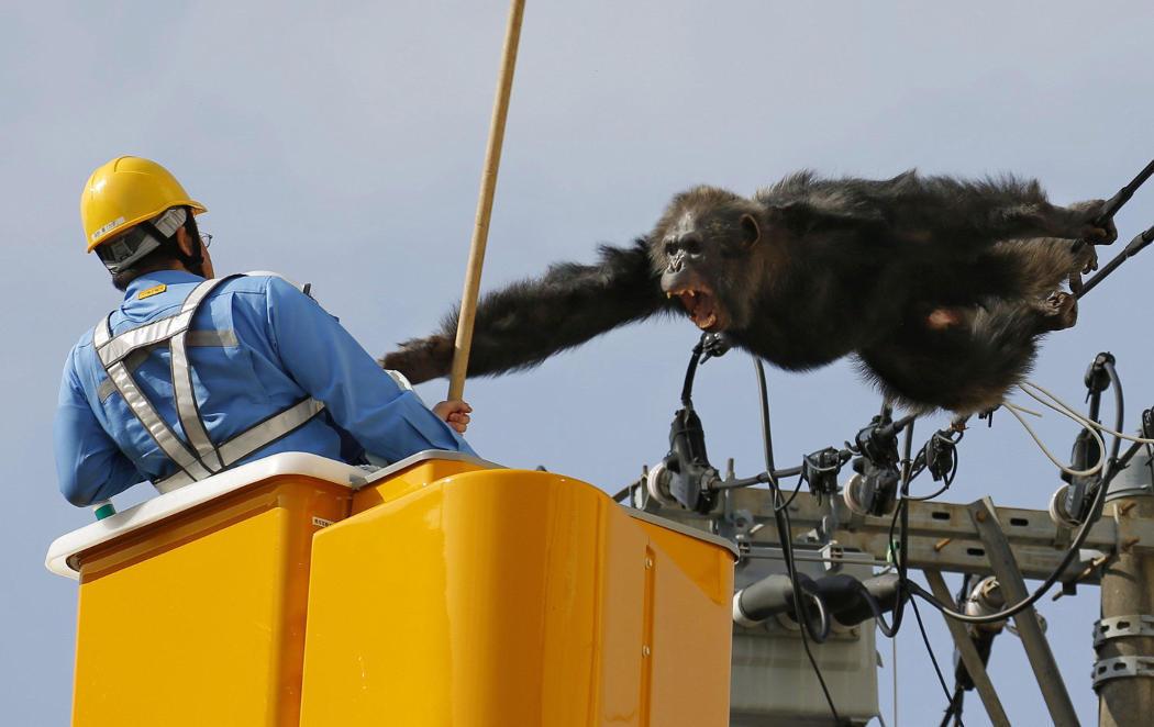 ChaCha, el chimpancé que escapó del zoo y les hizo la de King Kong