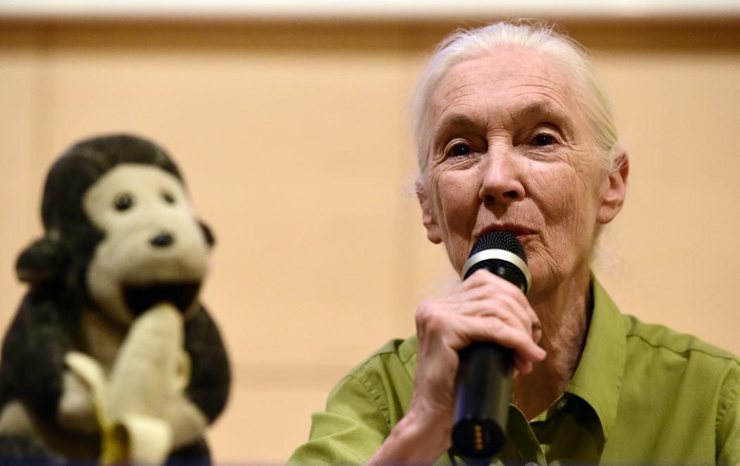 Jane Goodall visita Madrid, pero no dejo de mirar al mono de detrás
