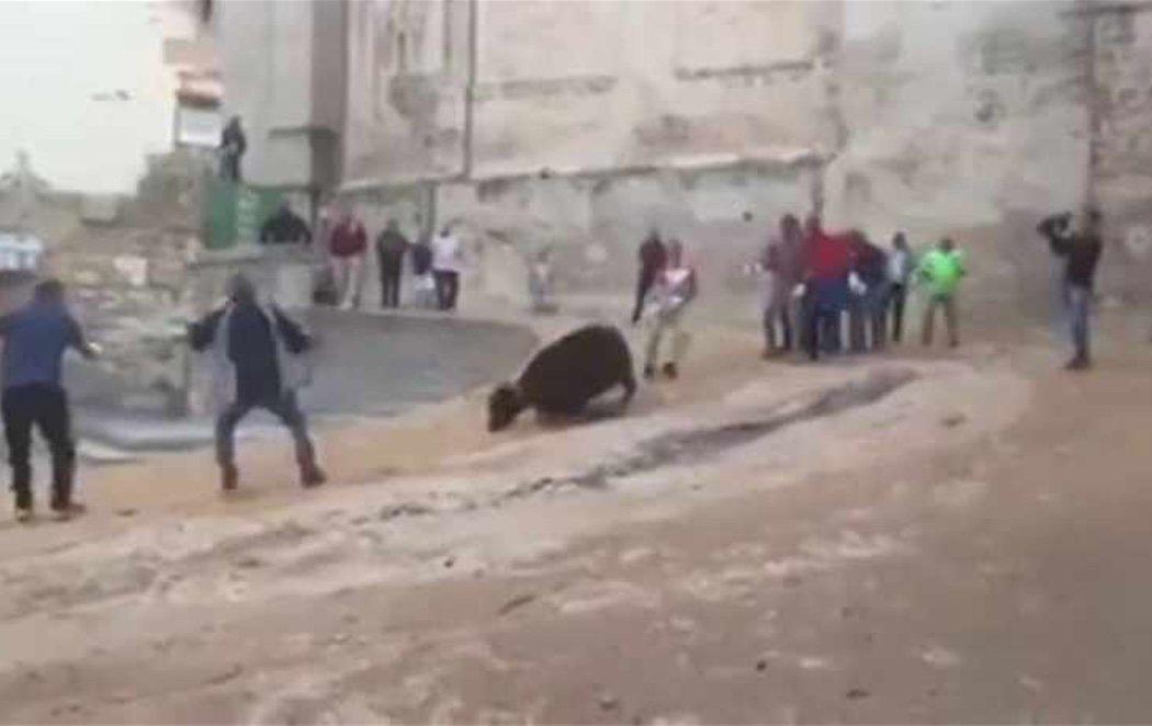 Gritos y gemidos de dolor de una vaquilla al intentar huir de un festejo en Cuenca