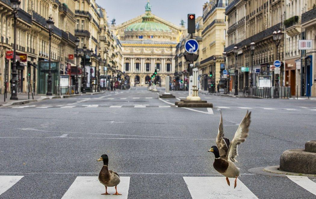 Los patos y las palomas toman el control de las calles vacías de París por la cuarentena