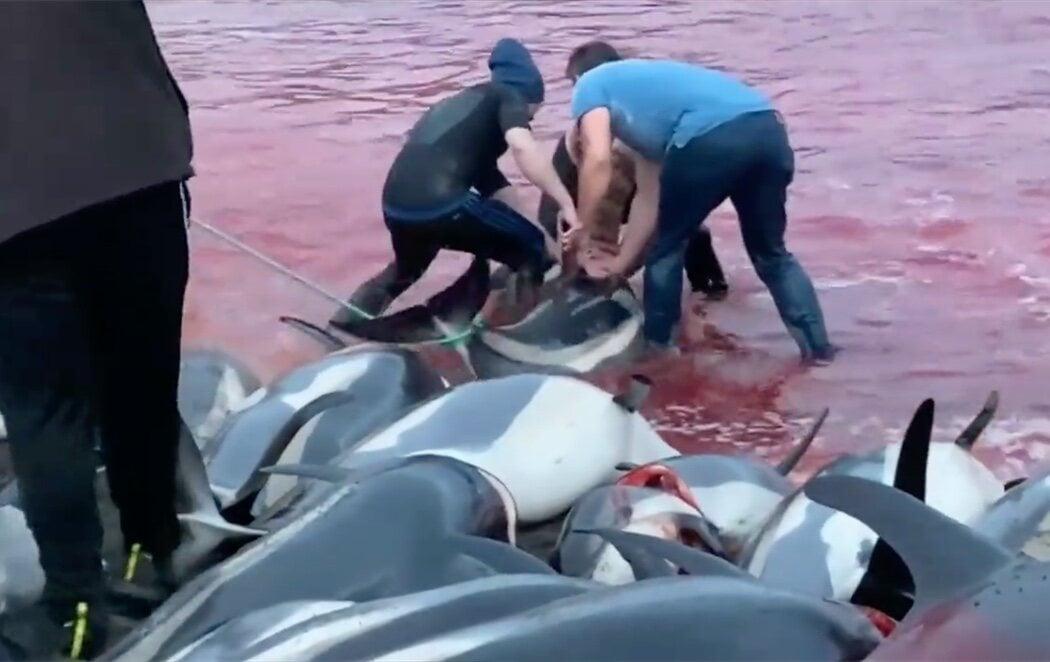 Indignación en las Islas Feroe por la matanza de más de 1.400 delfines en sus costas por una tradición