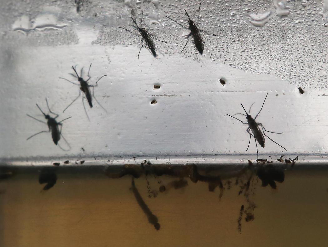 El mosquito Aedes aegypti